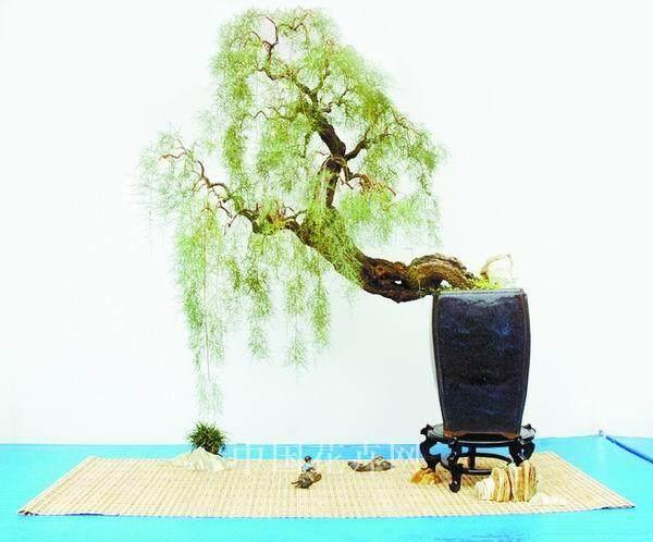 柽柳盆景养护管理与观赏