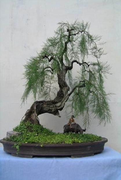 垂枝式柽柳盆景的枝条更新修剪