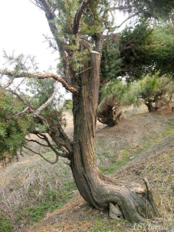 刺柏树桩盆景每隔多久时间打药最好
