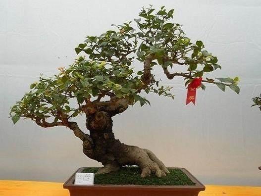 榆树盆景对乐果敏感可以使用吗