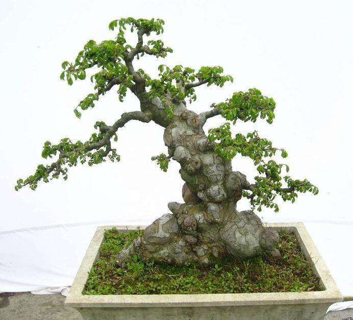 中国榆树盆景非常适合初学者