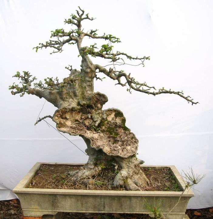 榆树老桩盆景如何制作与管理
