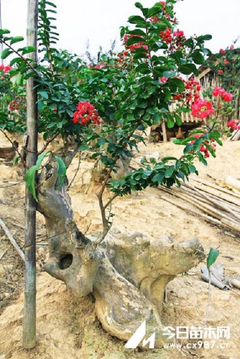 扦插紫薇盆景怎样用生根粉保证成活