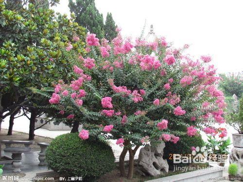 紫薇盆景二度发芽开花的方法 图片