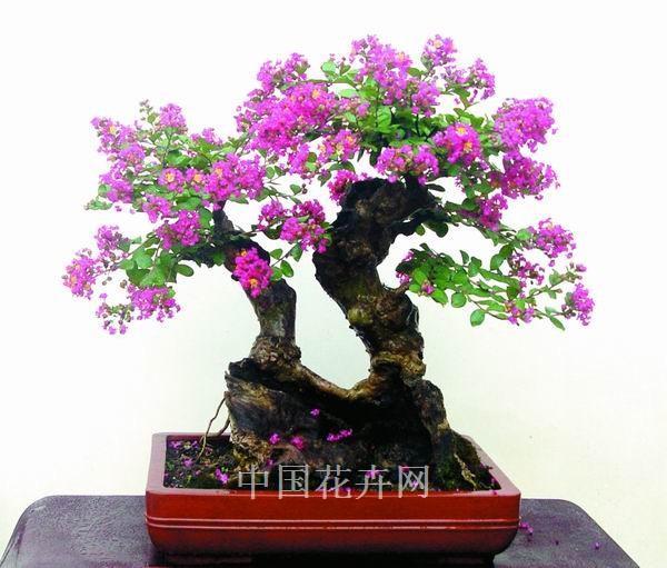 紫薇盆景怎么修剪造型的6个方法 图片
