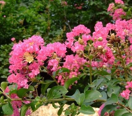 怎么使紫薇盆景多次开花的方法