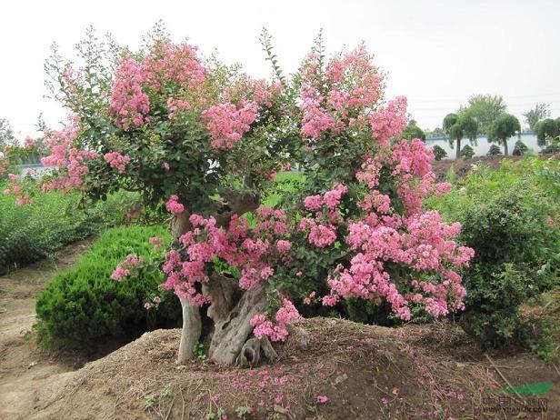 紫薇桩盆景采用什么方法嫁接为好