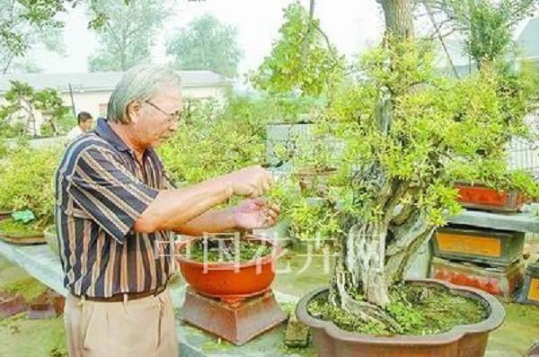 树木盆景移栽后怎么嫁接根系的方法