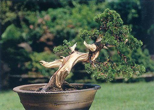 舍利干及神枝是树木盆景制作中的一种艺术形象创造