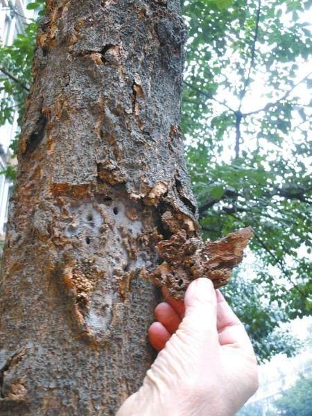 诊断树木病害的病原