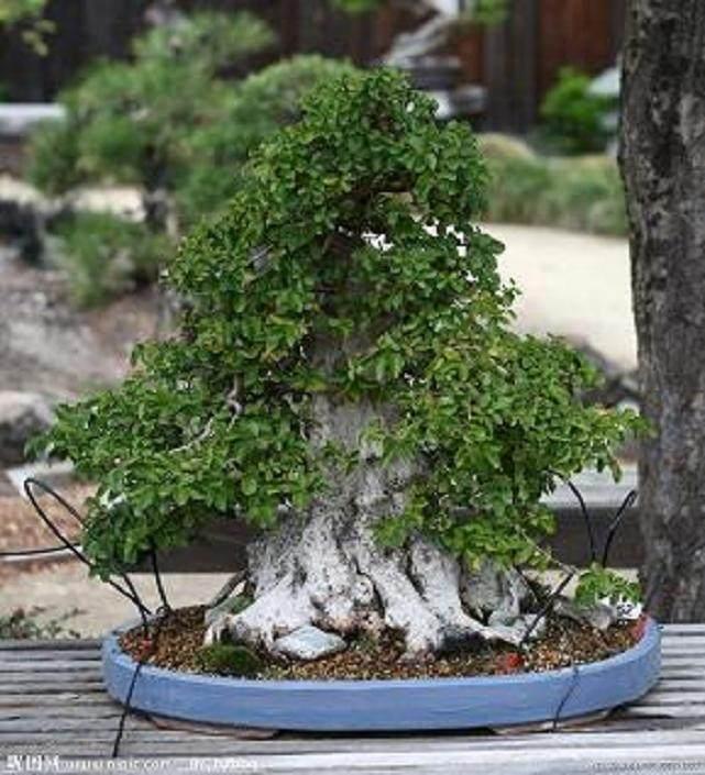 树木盆景怎样生根繁殖的方法