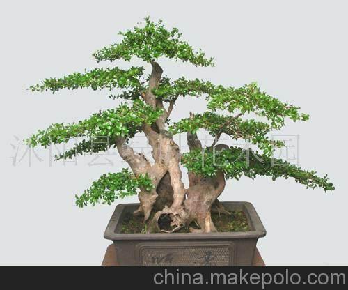 五针松盆景幼木的初次造型