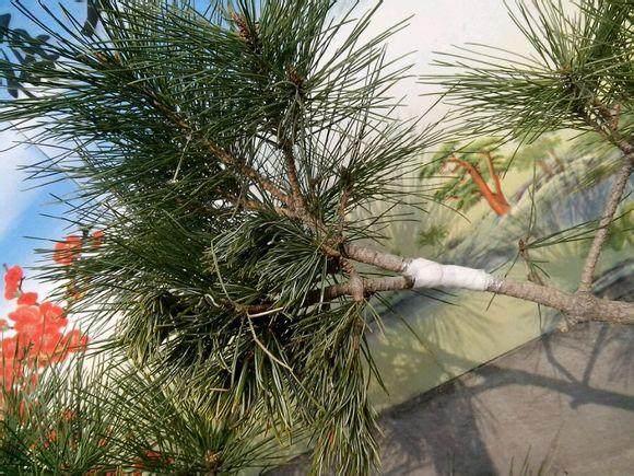 五针松老桩盆景的芽接和枝条高接