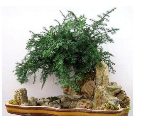 怎么制作 澳洲杉盆景?