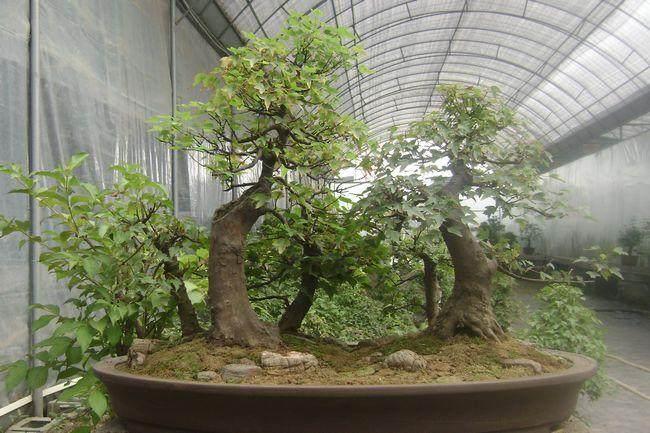 如何做好三角枫盆景小苗刺虫的防治工作?