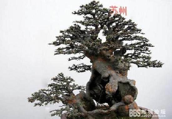 榆树盆景怎么制作发芽的方法 图片