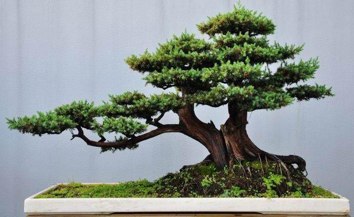 泰州树木盆景传统的加工方法