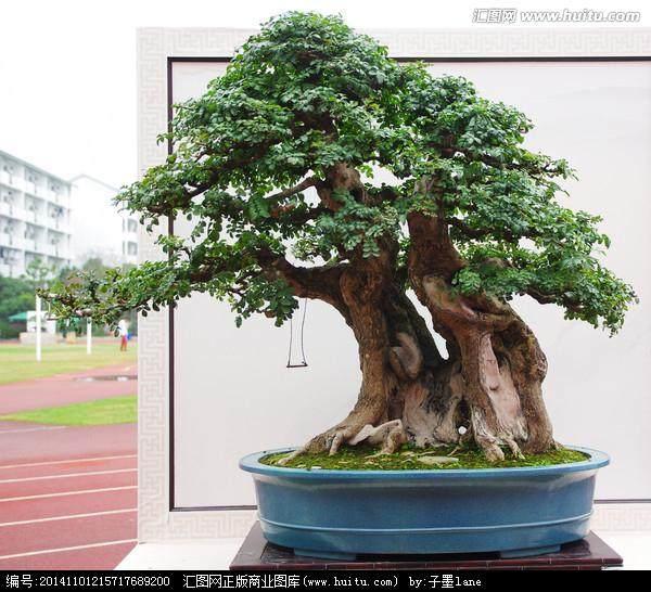榆树盆景春季抹芽