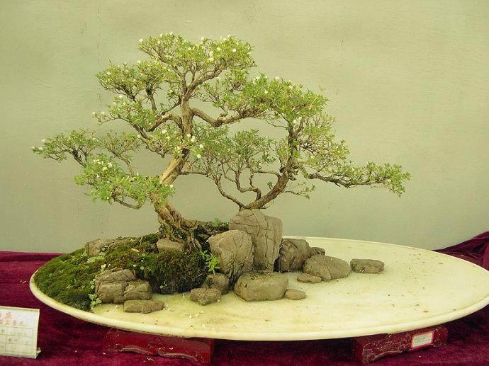 利用水旱附石的特点 制作出悬吊式盆景