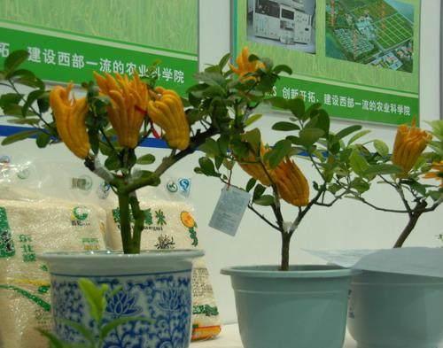 北方家庭养盆栽佛手坐果的3个方法