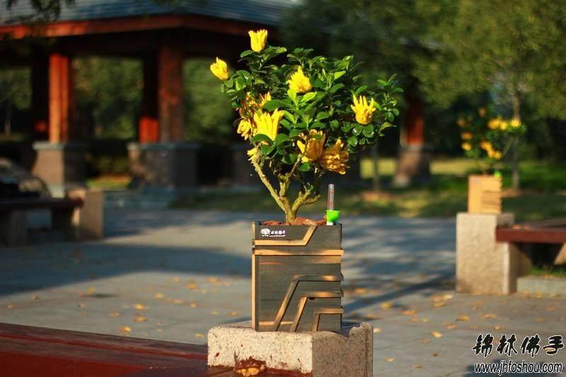 菊花盆景病虫害怎么防治的4个方法