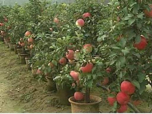 盆景果树的施肥管理技术