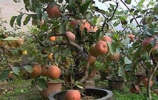 果树盆景怎么修剪的方法 图片