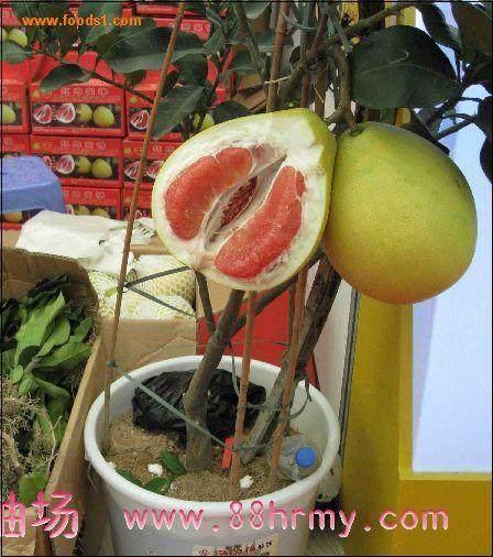谈谈果树盆景的肥水管理