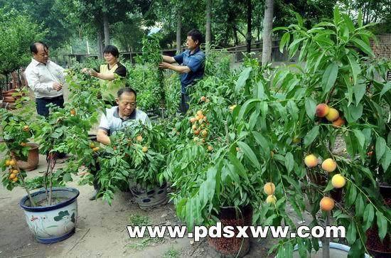 快速培育果树盆景