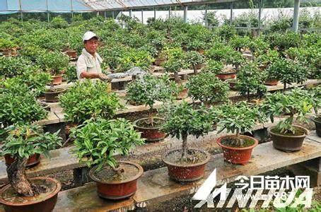 桂花盆景怎样扦插生根的技术 图片