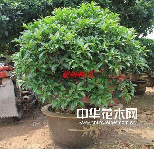 桂花能否作为嫁接小叶女贞盆景的砧木