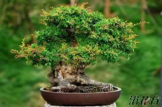 春季榔榆盆景的制作与养护