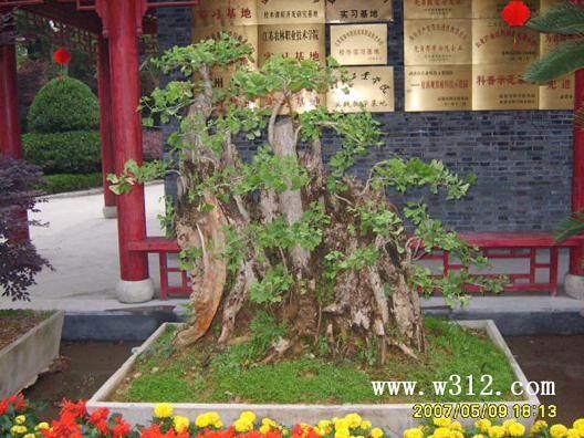 榔榆老桩盆景怎么发芽修剪与制作 图片