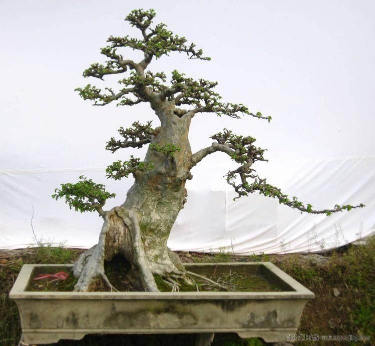 请问制作榔榆盆景有哪些栽植方法?