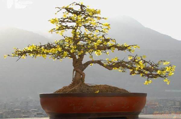 盆景树种介绍-迎春花