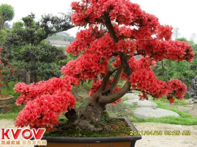 映山红盆景怎样生根养护的11个方法