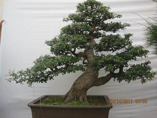 罗汉松的老枝在几月份截枝能多萌发新芽?