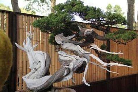 舍利干是中国盆景发展历程中的年轮