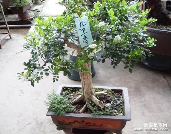 九里香盆景增施酸二氢钾 但就是不见开花