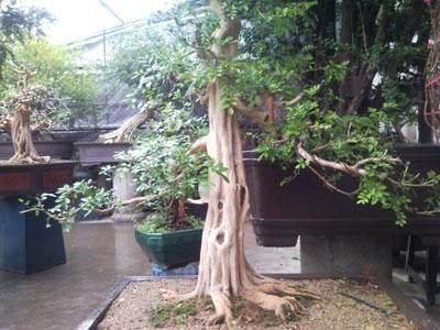 九里香树桩盆景怎样生根养护的方法