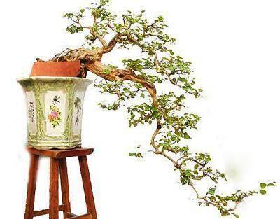 九里香盆景能不能在室外安全过冬
