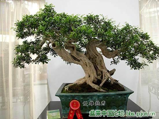 九里香盆景养护管理和观赏