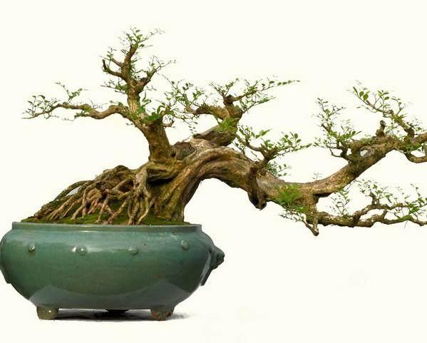 九里香盆景怎么防治白粉病的方法