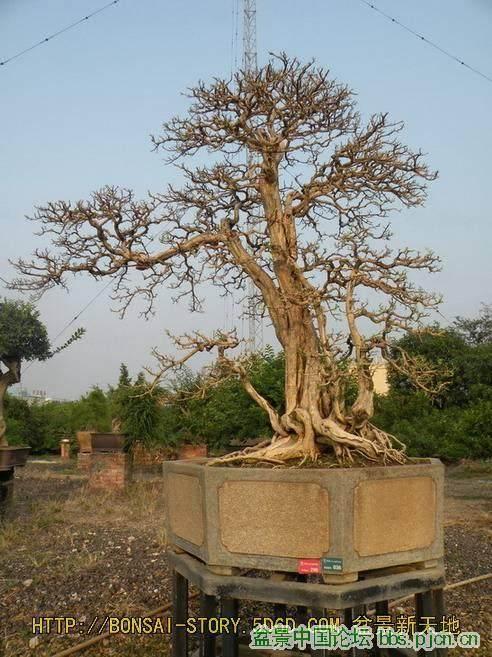 怎样制作九里香盆景移栽上盆的方法