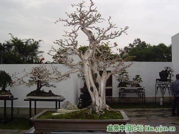 九里香盆景怎么浇水制作的方法 图片