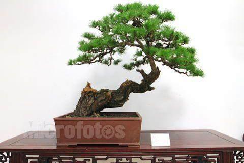 松树盆景制作解析