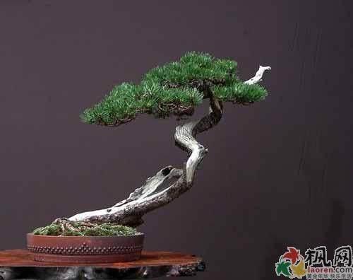 高干松树盆景怎么造型设计的方法 图片