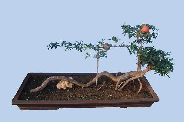 如何让花石榴盆景增粗更快的5个方法