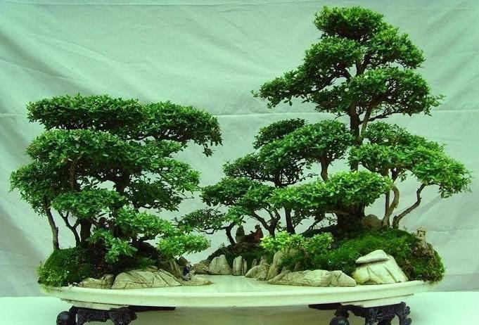 如何制作树石组合盆景?