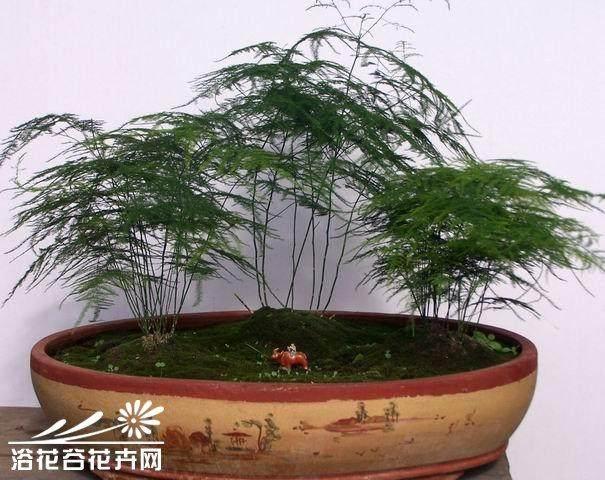 文竹盆景整形中怎么盆控的方法